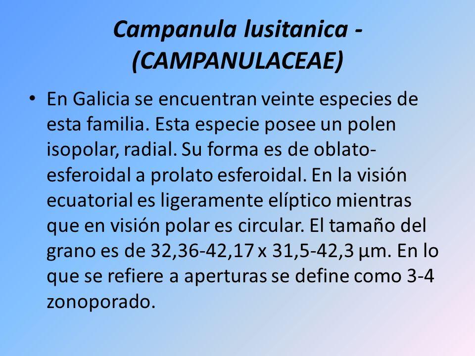 Campanula lusitanica - (CAMPANULACEAE) En Galicia se encuentran veinte especies de esta familia. Esta especie posee un polen isopolar, radial. Su form