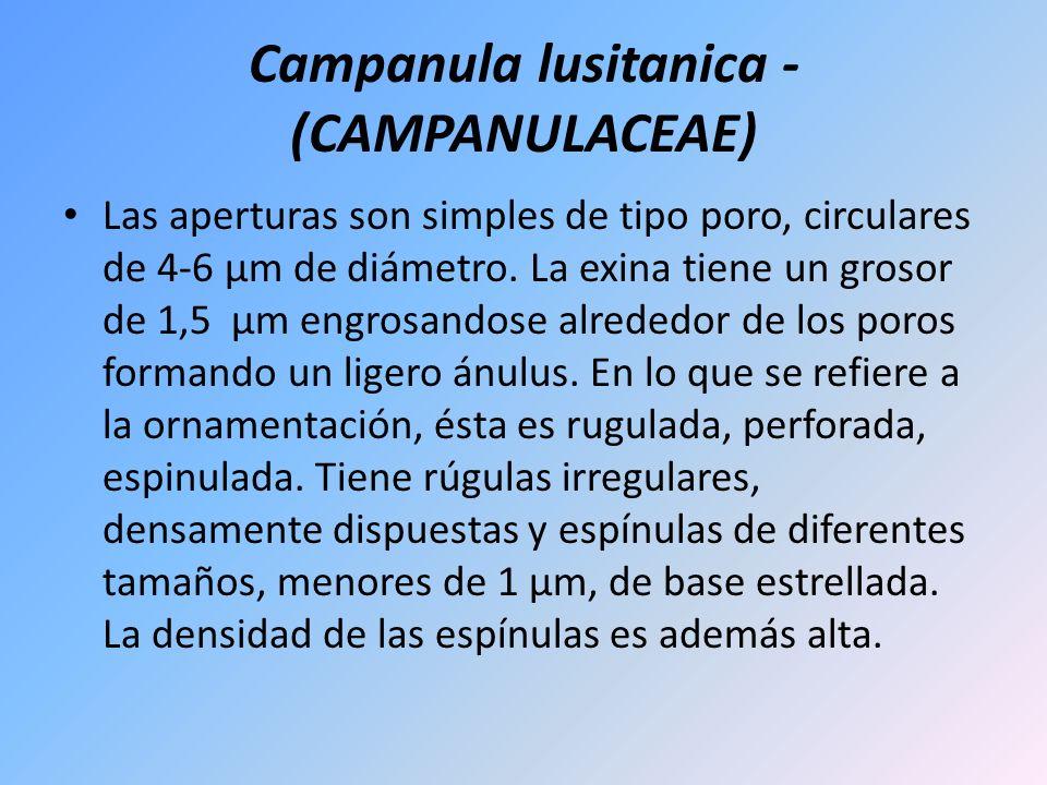 Campanula lusitanica - (CAMPANULACEAE) Las aperturas son simples de tipo poro, circulares de 4-6 µm de diámetro. La exina tiene un grosor de 1,5 µm en
