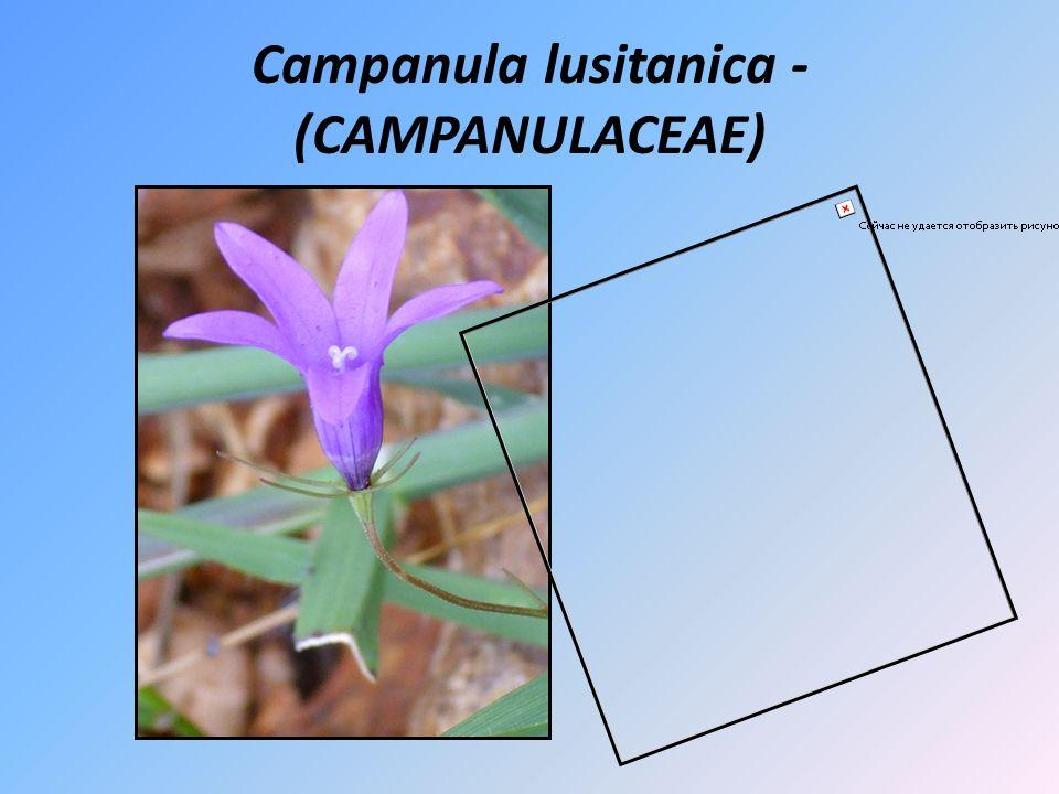 Campanula lusitanica - (CAMPANULACEAE)