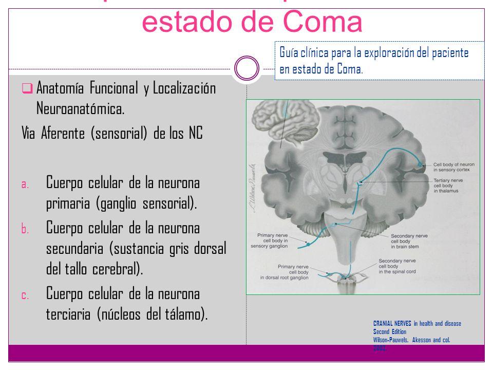 Exploración del paciente en estado de Coma Anatomía Funcional y Localización Neuroanatómica. Via Aferente (sensorial) de los NC a. Cuerpo celular de l