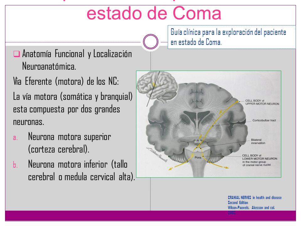 Exploración del paciente en estado de Coma Anatomía Funcional y Localización Neuroanatómica. Via Eferente (motora) de los NC: La vía motora (somática