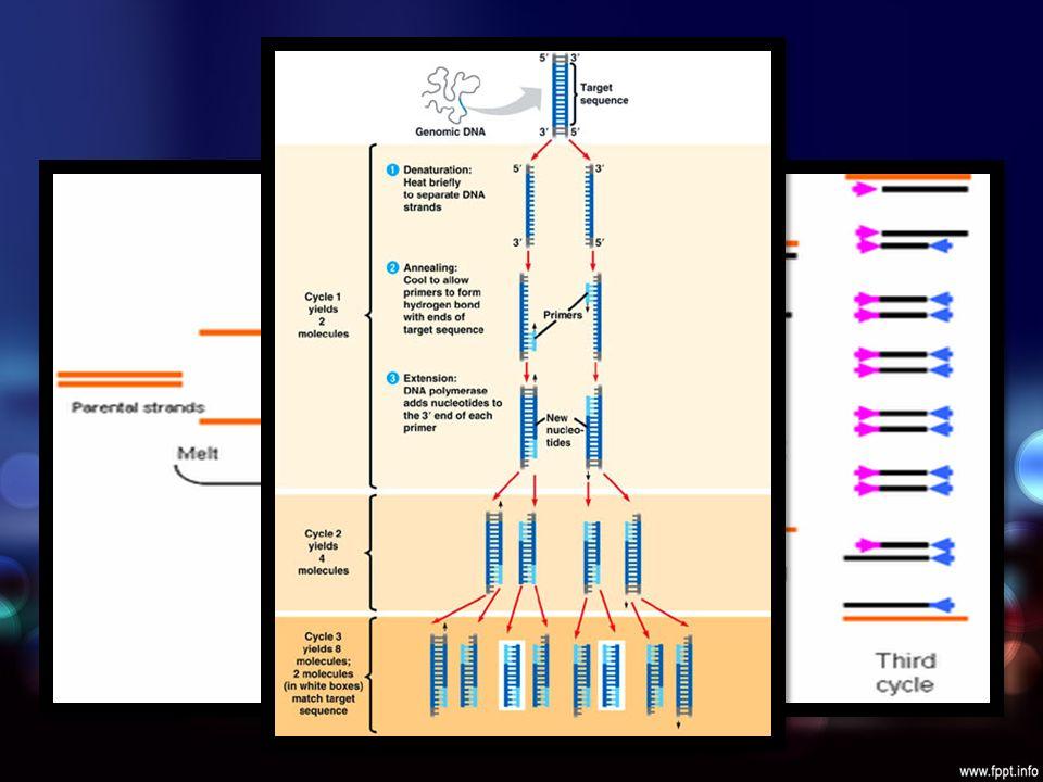 PCR Amplificación enzimática de un fragmento de DNA diana Desnaturalización con calor Cebadores cadenas complementarias DNA polimerasa 2 nuevas cadenas Repetidos ciclos