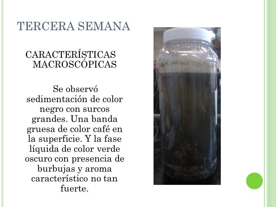 TERCERA SEMANA CARACTERÍSTICAS MACROSCÓPICAS Se observó sedimentación de color negro con surcos grandes. Una banda gruesa de color café en la superfic