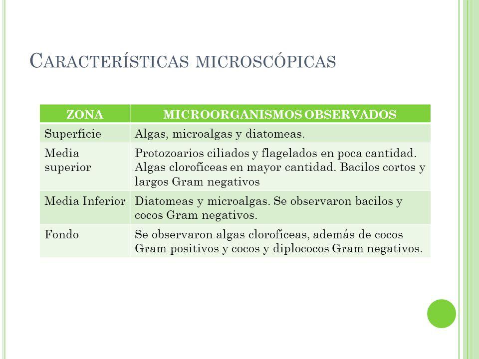 C ARACTERÍSTICAS MICROSCÓPICAS ZONAMICROORGANISMOS OBSERVADOS SuperficieAlgas, microalgas y diatomeas. Media superior Protozoarios ciliados y flagelad