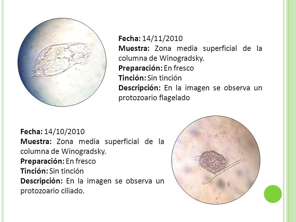 Fecha: 14/11/2010 Muestra: Zona media superficial de la columna de Winogradsky. Preparación: En fresco Tinción: Sin tinción Descripción: En la imagen