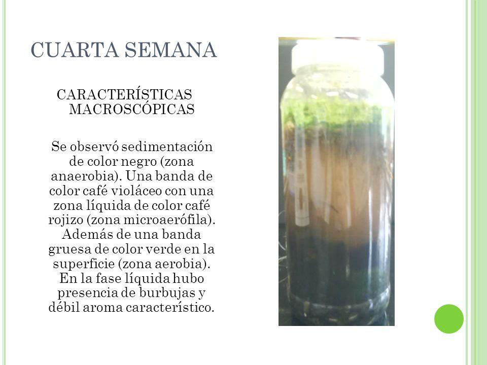 CUARTA SEMANA CARACTERÍSTICAS MACROSCÓPICAS Se observó sedimentación de color negro (zona anaerobia). Una banda de color café violáceo con una zona lí