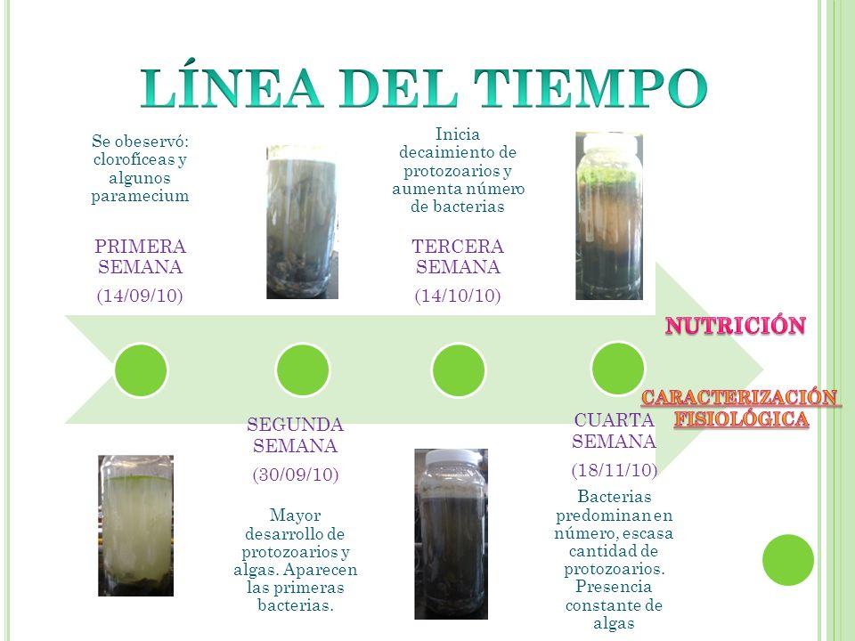 Se obeservó: clorofíceas y algunos paramecium PRIMERA SEMANA (14/09/10) SEGUNDA SEMANA (30/09/10) Mayor desarrollo de protozoarios y algas. Aparecen l