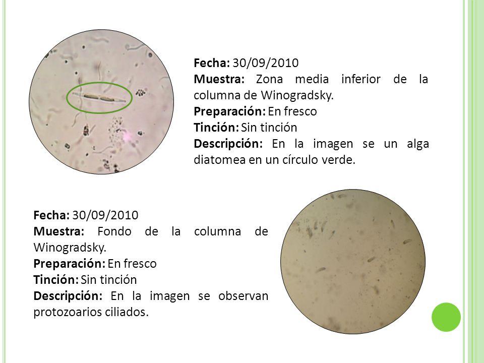 Fecha: 30/09/2010 Muestra: Fondo de la columna de Winogradsky Preparación: Fija Tinción: De Gram Descripción: En la imagen se observan Espirilos Gram negativos sin agrupación en círculos azules y cocos gram negativos sin agrupación en círculos verdes.