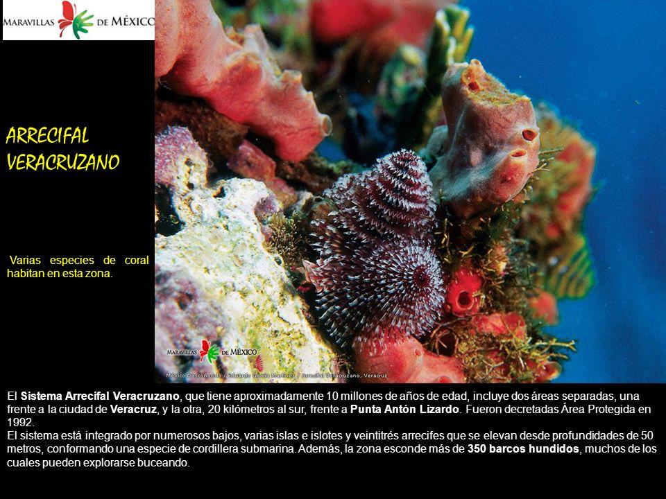 ARRECIFAL VERACRUZANO Varias especies de coral habitan en esta zona.