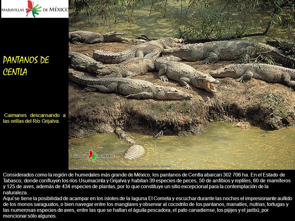 PANTANOS DE CENTLA Caimanes descansando a las orillas del Río Grijalva.