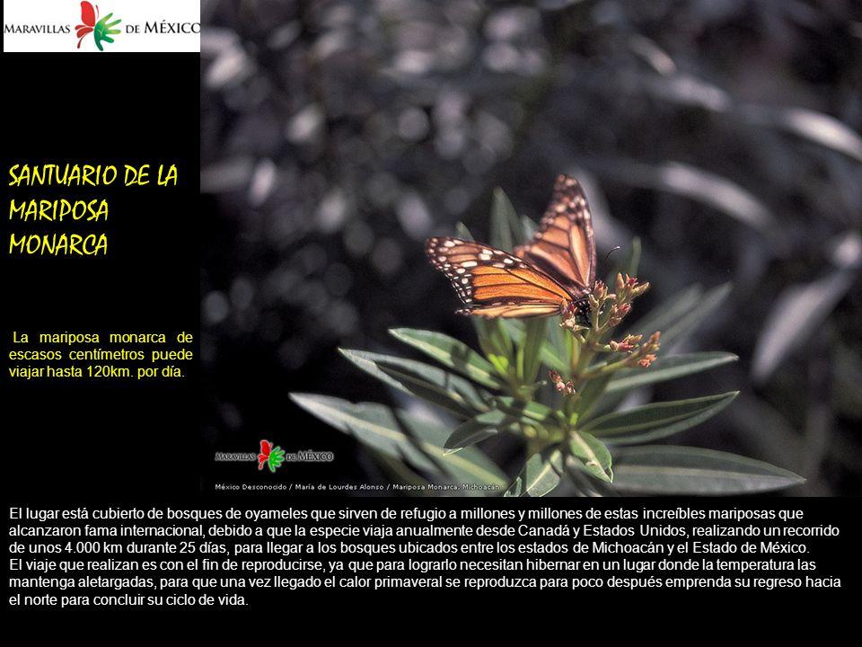 SANTUARIO DE LA MARIPOSA MONARCA La mariposa monarca de escasos centímetros puede viajar hasta 120km.