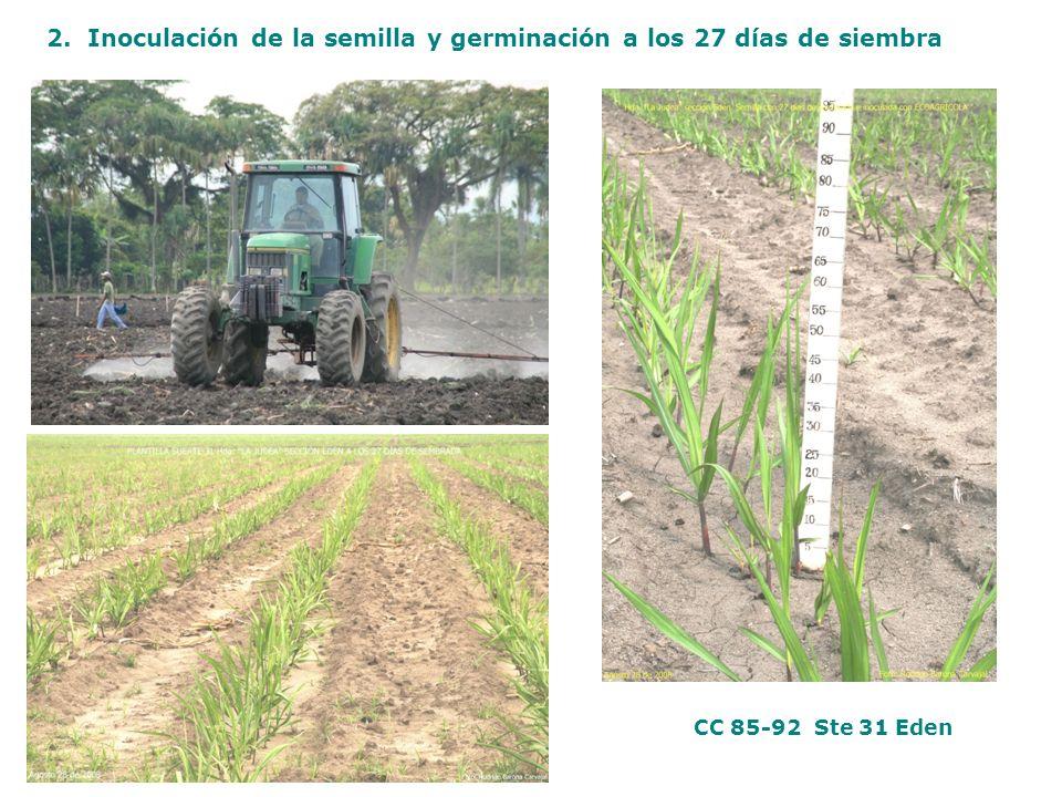 2. Inoculación de la semilla y germinación a los 27 días de siembra CC 85-92 Ste 31 Eden