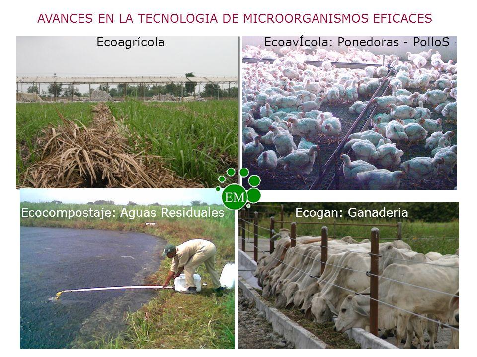 AVANCES EN LA TECNOLOGIA DE MICROORGANISMOS EFICACES Ecoagrícola Ecogan: GanaderiaEcocompostaje: Aguas Residuales EcoavÍcola: Ponedoras - PolloS