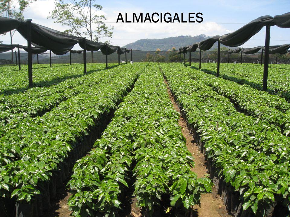 ALMACIGALES