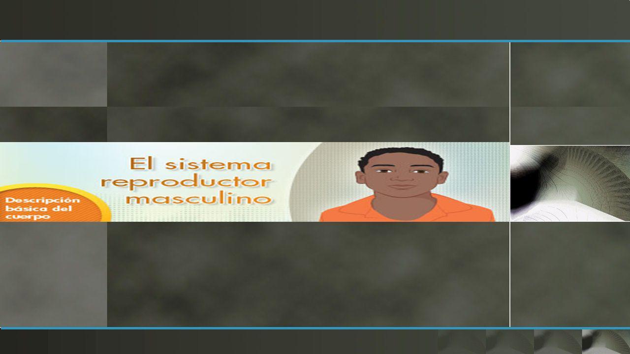 Testículos Pene Epididimo Conducto deferente Vesiculas seminales Conducto eyaculador Prostata Uretra Glandulas bulbouretrales