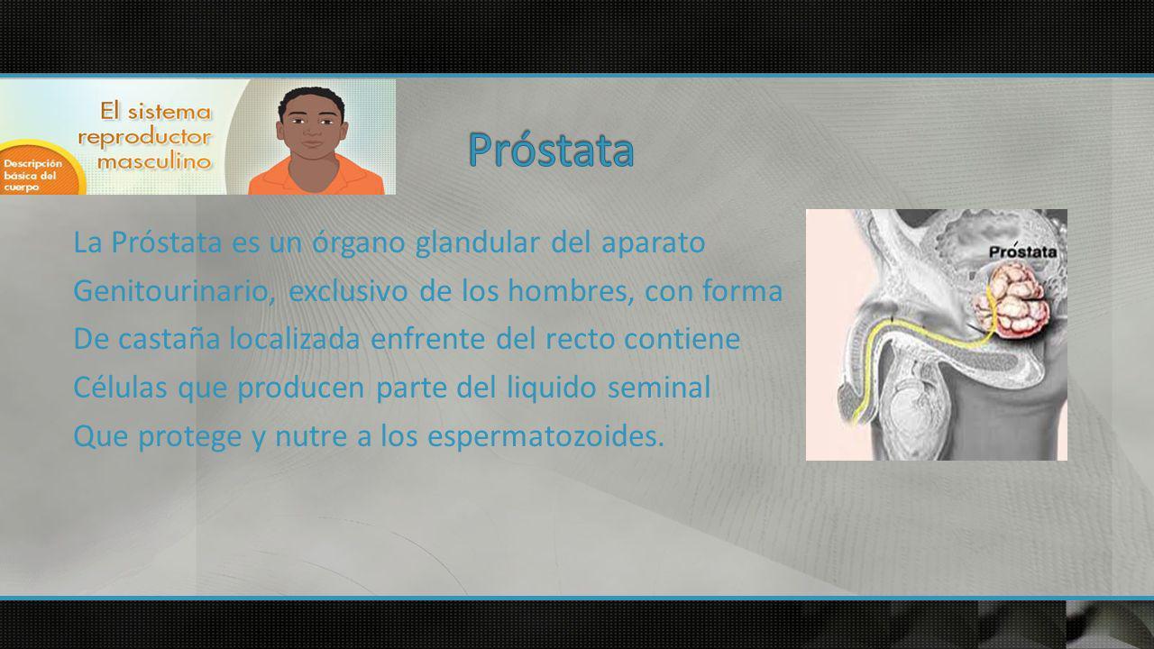 La Próstata es un órgano glandular del aparato Genitourinario, exclusivo de los hombres, con forma De castaña localizada enfrente del recto contiene Células que producen parte del liquido seminal Que protege y nutre a los espermatozoides.