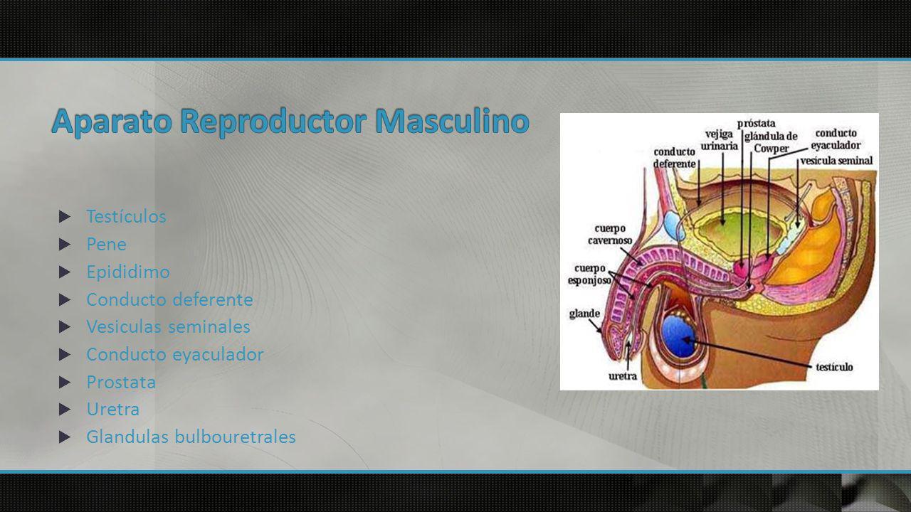 Son los principales órganos del sistema Reproductivo masculino Produce las células espermáticas y las hormonas Sexuales masculinas que se encuentran alojados en el escroto o saco escrotal que es un conjunto de envolturas que cabe y aloja a los testículos en el varón