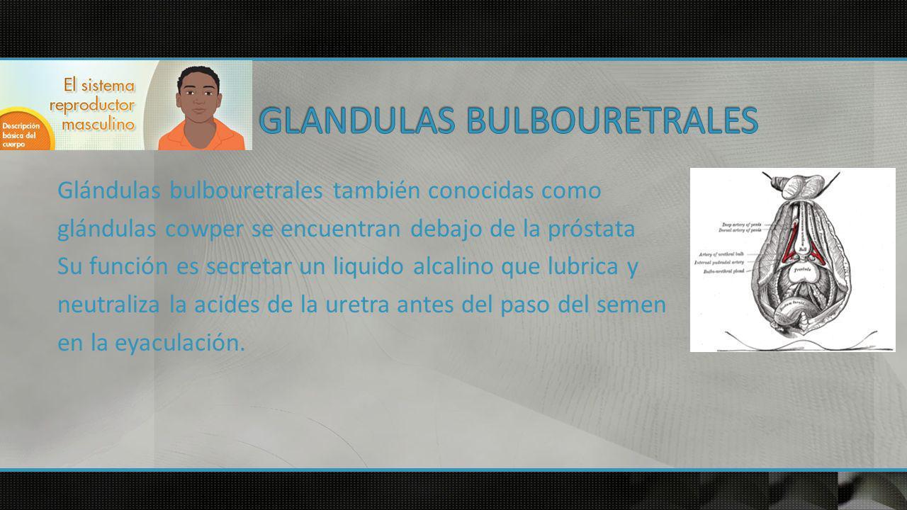 Glándulas bulbouretrales también conocidas como glándulas cowper se encuentran debajo de la próstata Su función es secretar un liquido alcalino que lubrica y neutraliza la acides de la uretra antes del paso del semen en la eyaculación.