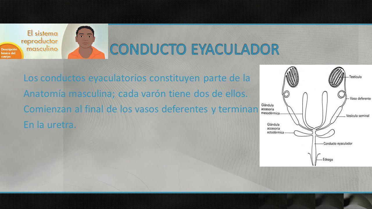 Los conductos eyaculatorios constituyen parte de la Anatomía masculina; cada varón tiene dos de ellos.