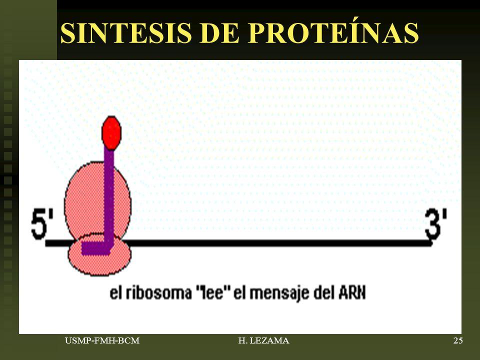 SINTESIS DE PROTEÍNAS ARN mensajero-información (tripletes- codon) ARN mensajero-información (tripletes- codon) Tiene lugar en los ribosomas libres del citoplasma.