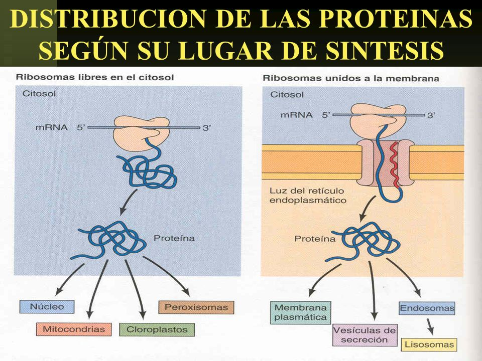 USMP-FMH-BCMH. LEZAMA26 DISTRIBUCION DE LAS PROTEINAS SEGÚN SU LUGAR DE SINTESIS