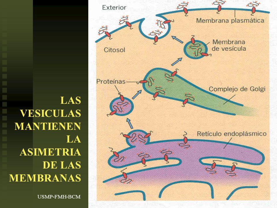USMP-FMH-BCMH. LEZAMA27 LAS VESICULAS MANTIENEN LA ASIMETRIA DE LAS MEMBRANAS