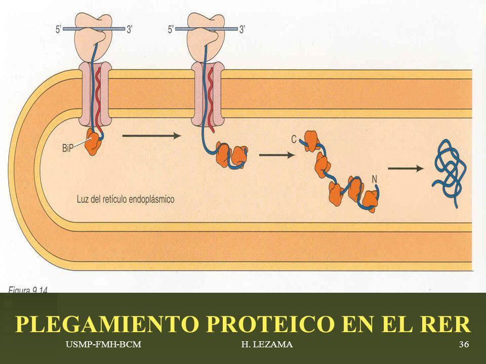 USMP-FMH-BCMH. LEZAMA36 PLEGAMIENTO PROTEICO EN EL RER