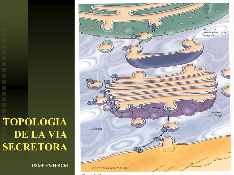 USMP-FMH-BCMH. LEZAMA41 TOPOLOGIA DE LA VIA SECRETORA