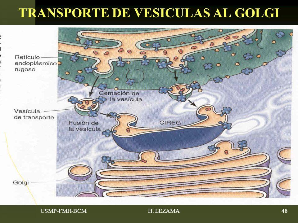 USMP-FMH-BCMH. LEZAMA48 TRANSPORTE DE VESICULAS AL GOLGI
