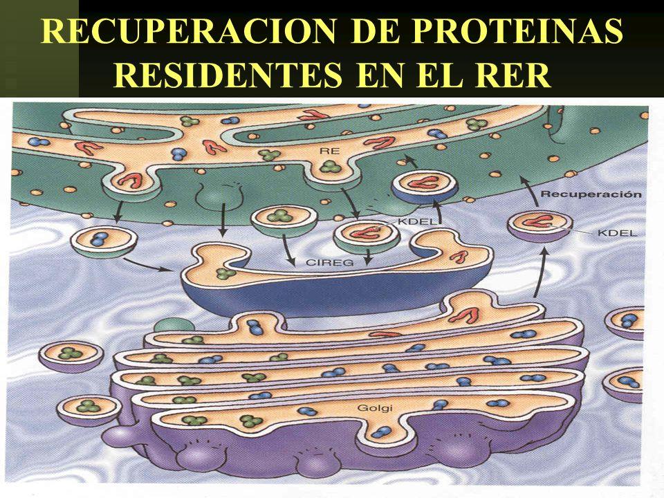 USMP-FMH-BCMH. LEZAMA49 RECUPERACION DE PROTEINAS RESIDENTES EN EL RER