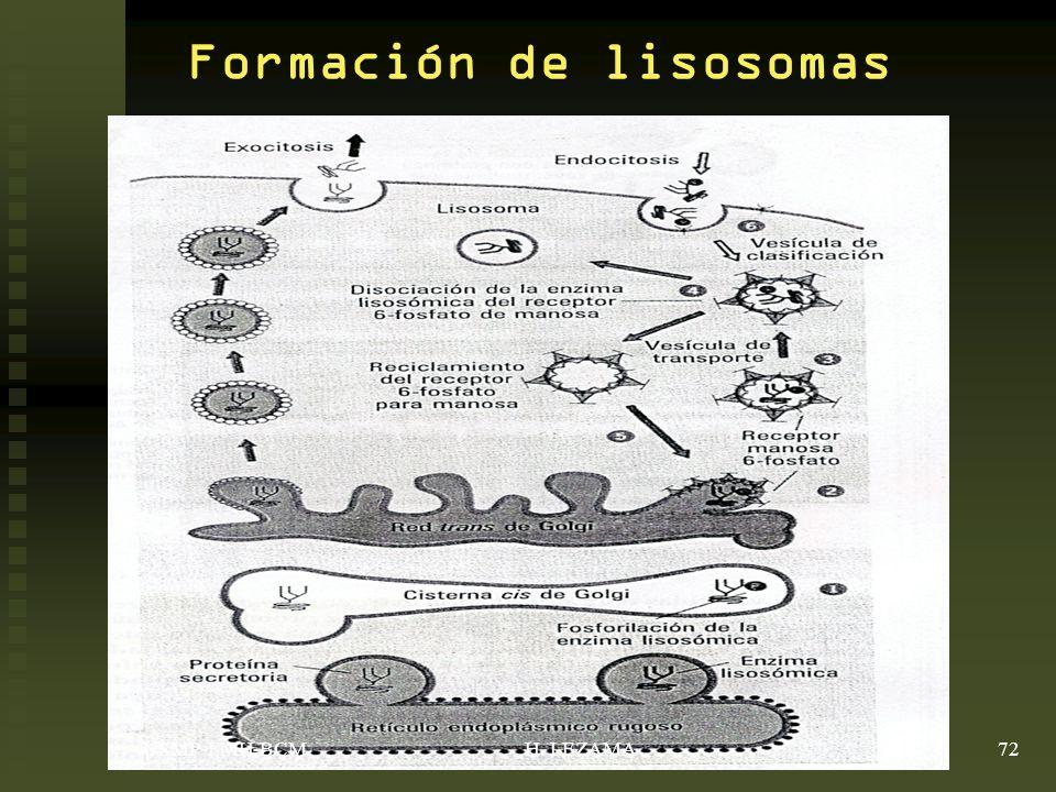 Formación de lisosomas USMP-FMH-BCM72H. LEZAMA
