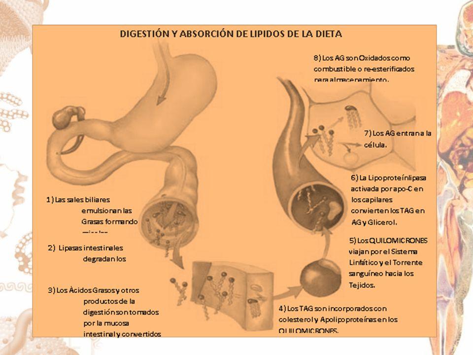 VARIANTES FUNCIONALES DE GENES CLASICOS: Codificada en el cromosoma 8 Sintetizada en corazón, tejido adiposo y musculo esquelético.