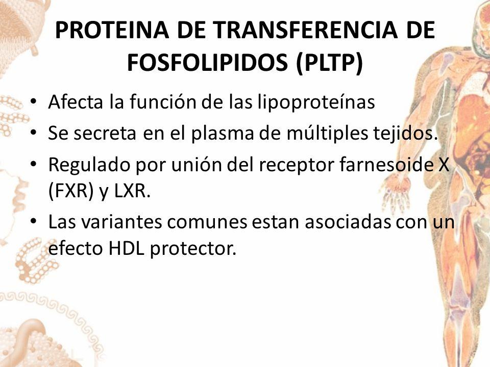 PROTEINA DE TRANSFERENCIA DE FOSFOLIPIDOS (PLTP) Afecta la función de las lipoproteínas Se secreta en el plasma de múltiples tejidos.