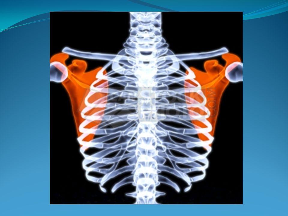 INSPECCION DINAMICA Se aprecia la característica de los movimientos respiratorios.