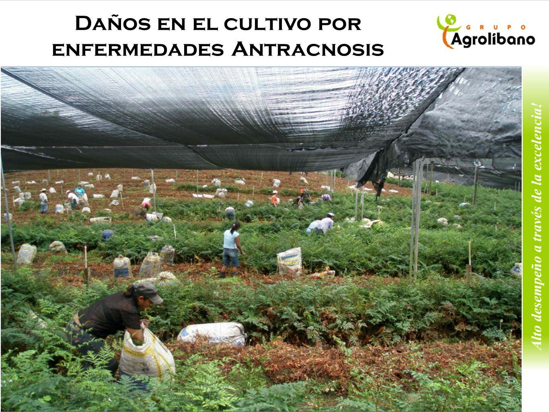 Daños en el cultivo por enfermedades Antracnosis
