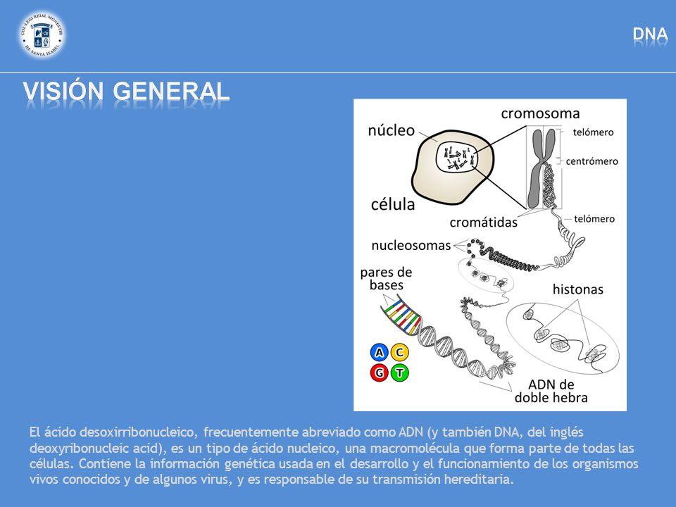 El ácido desoxirribonucleico, frecuentemente abreviado como ADN (y también DNA, del inglés deoxyribonucleic acid), es un tipo de ácido nucleico, una m
