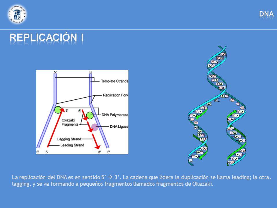 La replicación del DNA es en sentido 5 3. La cadena que lidera la duplicación se llama leading; la otra, lagging, y se va formando a pequeños fragment