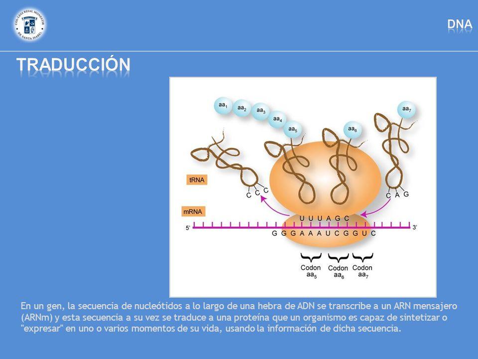 En un gen, la secuencia de nucleótidos a lo largo de una hebra de ADN se transcribe a un ARN mensajero (ARNm) y esta secuencia a su vez se traduce a u