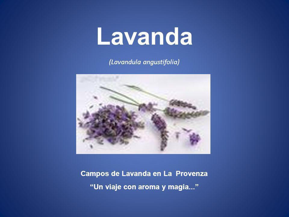 (Lavandula angustifolia) Campos de Lavanda en La Provenza Un viaje con aroma y magia... Lavanda