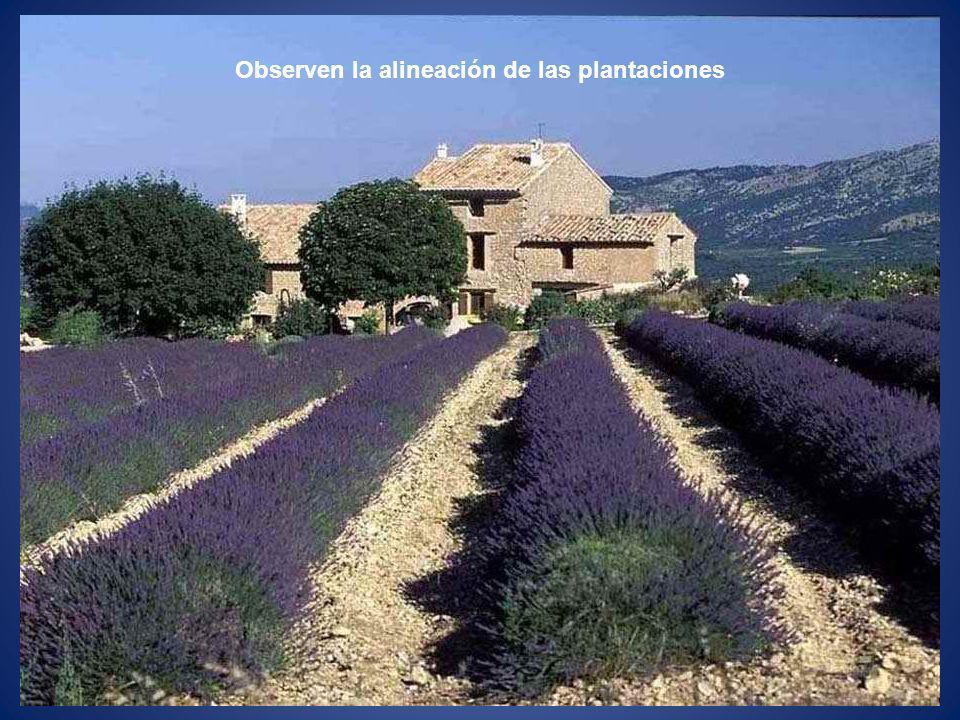 Observen la alineación de las plantaciones