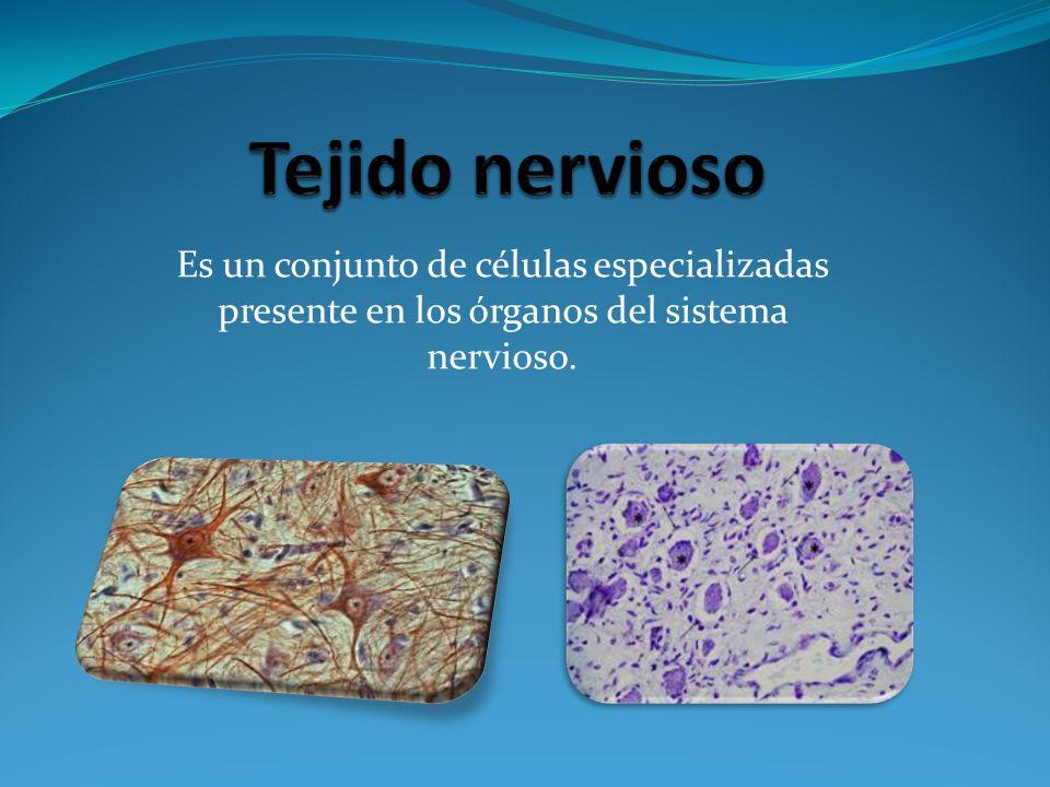 Es un conjunto de células especializadas presente en los órganos del sistema nervioso.