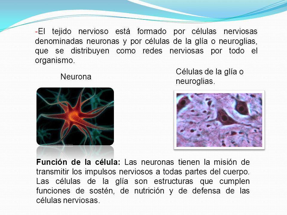 - El tejido nervioso está formado por células nerviosas denominadas neuronas y por células de la glía o neuroglias, que se distribuyen como redes nerv