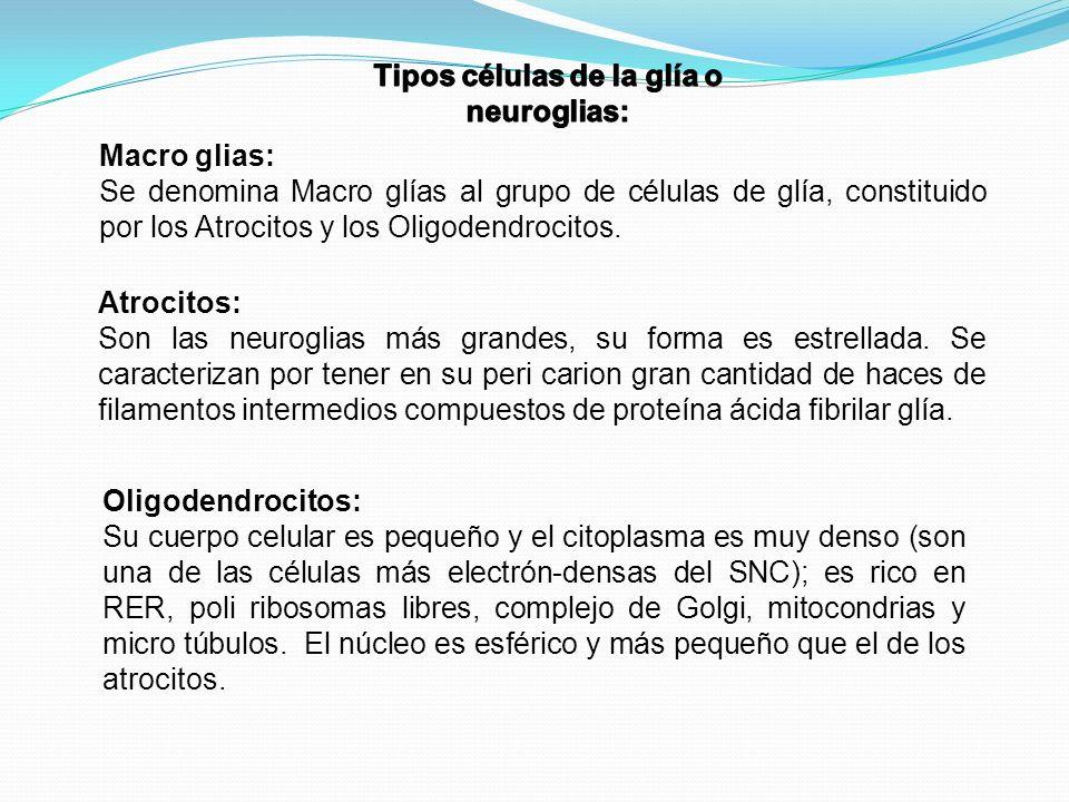 Macro glias: Se denomina Macro glías al grupo de células de glía, constituido por los Atrocitos y los Oligodendrocitos. Atrocitos: Son las neuroglias