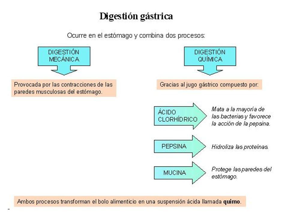 fundus Cuerpo del estómago Región pilórica