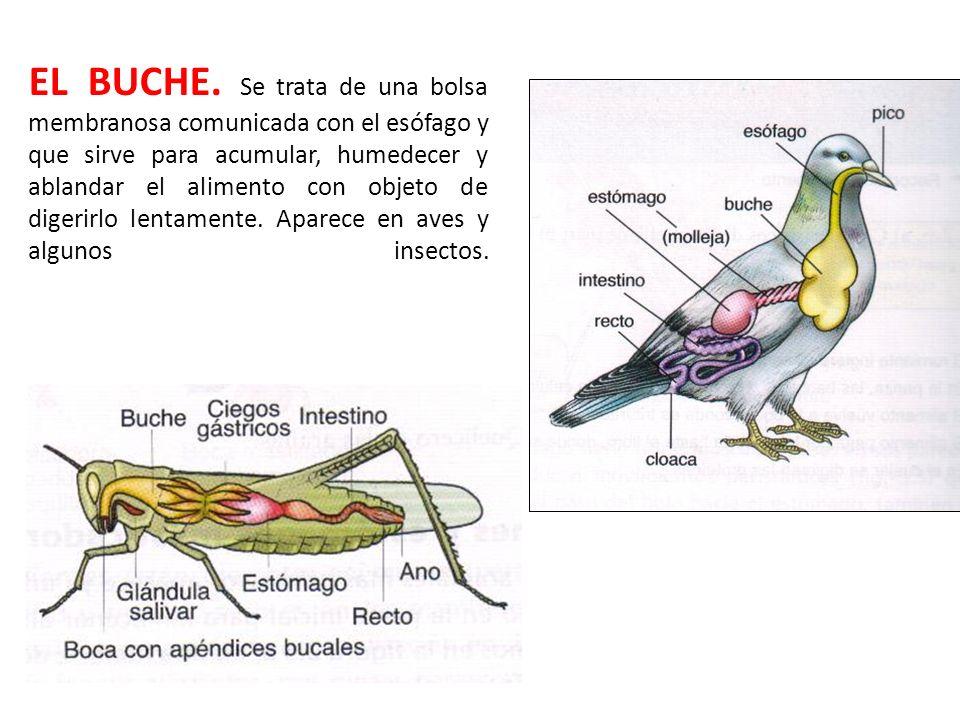 EL BUCHE.