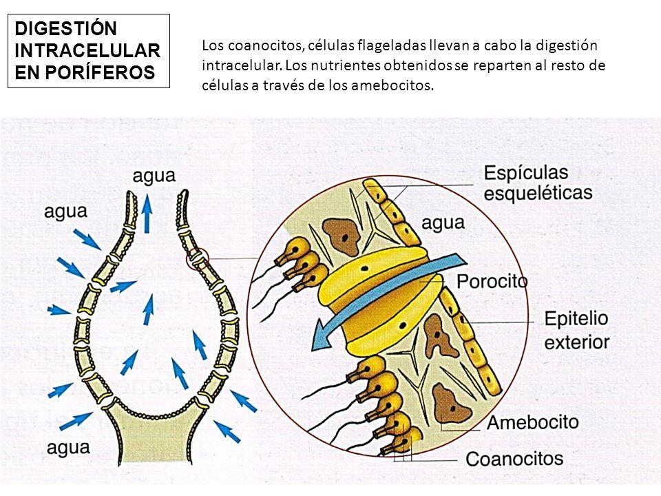 Los coanocitos, células flageladas llevan a cabo la digestión intracelular.