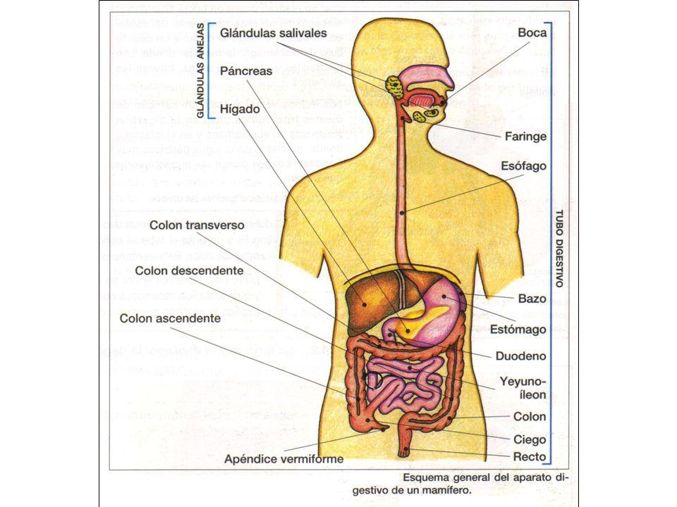 GLÁNDULAS SALIVARES Composición de la saliva: Agua Sales minerales Enzimas digestivas (actúan sobre el almidón y el glucógeno)