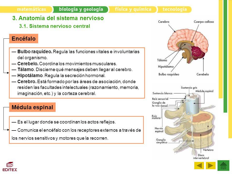 3. Anatomía del sistema nervioso 3.1. Sistema nervioso central Encéfalo Médula espinal Bulbo raquídeo. Regula las funciones vitales e involuntarias de