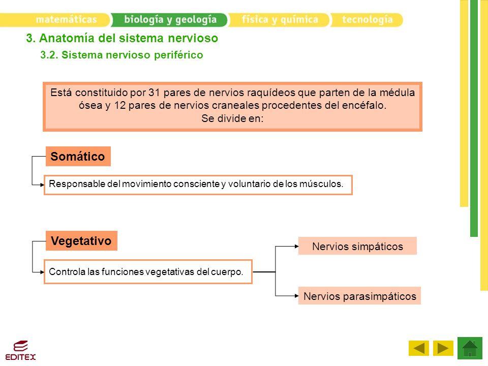 3. Anatomía del sistema nervioso 3.2. Sistema nervioso periférico Somático Vegetativo Responsable del movimiento consciente y voluntario de los múscul