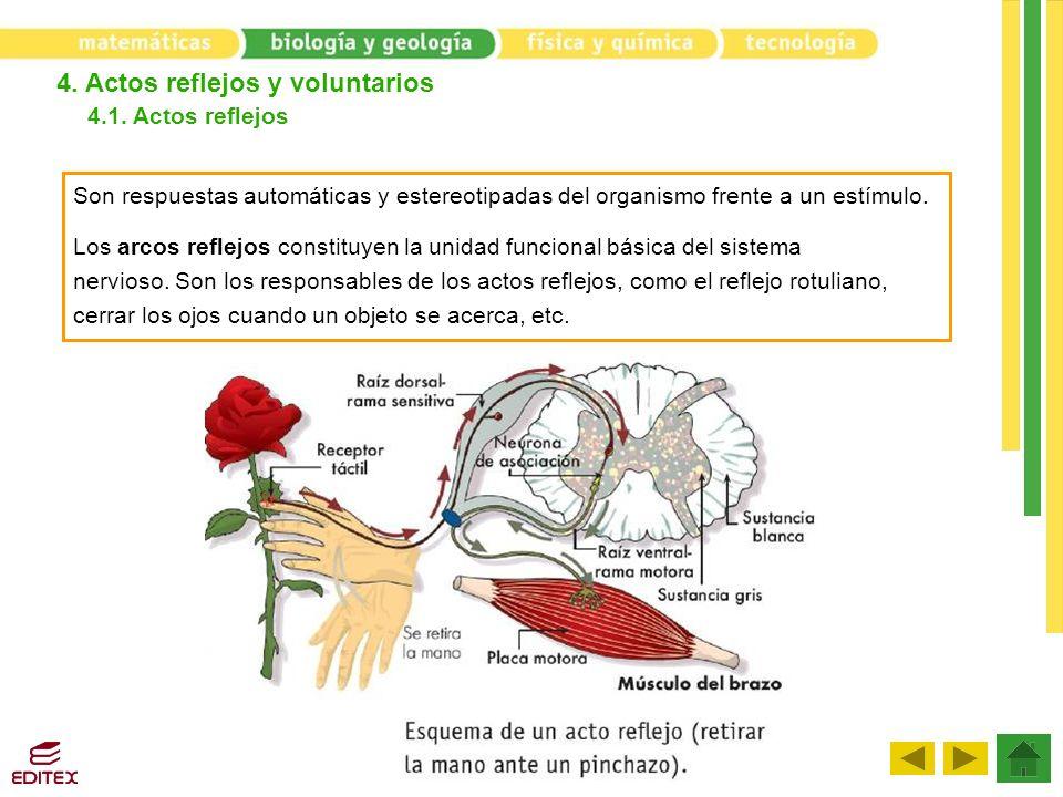 4. Actos reflejos y voluntarios 4.1. Actos reflejos Son respuestas automáticas y estereotipadas del organismo frente a un estímulo. Los arcos reflejos